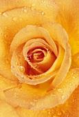 Orange rose, variety 'Sweet Magic'