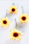 Vier gelbe Chrysanthemen