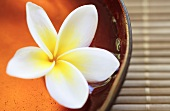 Frangipani flower in a wooden bowl filled with water