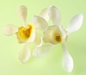 Two vanilla flowers against green background