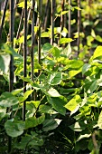 Several climbing bean plants in a garden