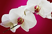 Orchid flowers on pink background