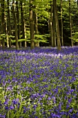 A bluebell wood, England