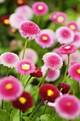 Pink and red daisies in a garden