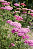 Flowering achillea in a garden