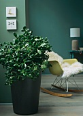 Jade tree or money tree (Crassula ovata) in front of rocking chair with sheepskin