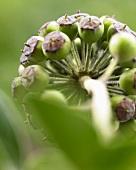 Ivy berries (hedera helix)