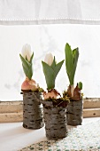 Three tulips and bulbs in hollowed out bark vases on a window sill