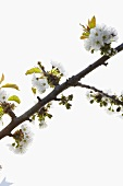 Branch of cherry blossom