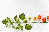 A sprig of physalis flowers on a white surface