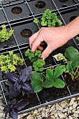 Young plants being placed in a potting tray