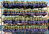 Drying lavender for perfume, Provence, France