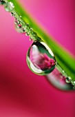 Water droplets on a flower stem
