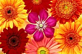 Clematis and gerbera flowers