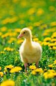 A gosling