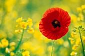 Poppy in a field of flowering oilseed rape