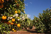 Orange plantation, Alzira, Ribera, Valencia, Spain
