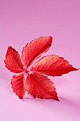 Red Virginia creeper leaf on pink background