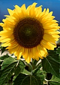 One Perfect Sunflower