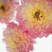 Pink and Yellow Dahlias (Close Up)