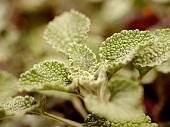 Weisser Andorn (Marrubium Vulgare)