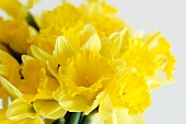 Bunch of Yellow Daffodils; Close Up