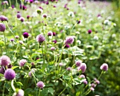 Organic Red Clover (Trifolium Pratensee) Growing in Field