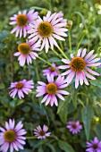 Echinacea Flowers in Garden