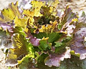 Organic Red Leaf Lettuce; in Garden