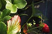 Organic Strawberries Growing in the Garden