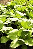 Lettuce Growing in the Garden