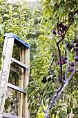 Plum Tree with Ladder