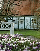 Crocuses in the garden of a country house