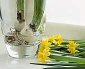 Bulbs in a glass vase with daffodils lying alongside