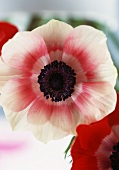 An anemone