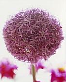 An ornamental onion (close-up)