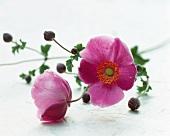Rosa Anemonen