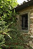 Busch am Haus mit vergittertem Fenster in Natursteinfassade