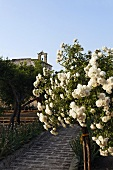 Garden path with white rose bush and a view of a bell tower