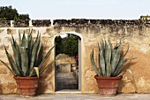 Stately agave plants in pots in front of an old stone wall next to an open garden gate