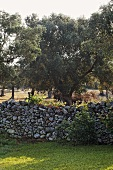 Mediterranean garden with natural stone wall and olive trees