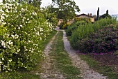 County lane between blooming bushes in the Mediterranean countryside