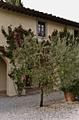 Olive trees on a gravel patio in front of Mediterranean villa and climbing roses on the facade