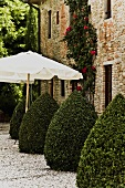 Cone shaped boxwood (topiary) and white sun umbrella in front of an old brick facade of a Mediterranean home