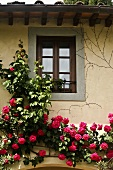 Section of a facade covered with red, climbing roses and a window