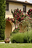 The arcade of a villa covered with red, climbing roses and rosemary bushes in the garden