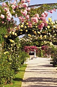 Summer has arrived in a blooming rose garden with trellises