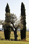 Mediterranean countryside -- an olive tree between two cypresses
