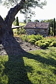 Old olive tree casting shadows on the lawn and a view of a stone cottage
