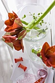 Red amaryllis flowers in a glass vase